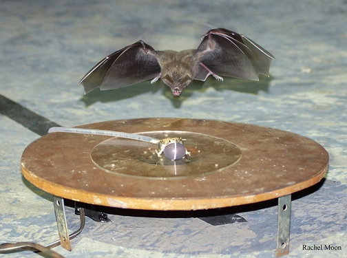 Bat approaches robotic frog